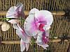 Фаленопсіс мікс 1 стрілка Біло рожевий