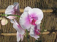 Фаленопсіс мікс 1 стрілка Біло рожевий, фото 1