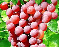 Саженцы винограда  Бодрый ( сверх ранний , черенки)