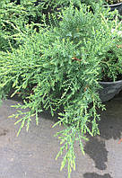 "Можжевельник средний Пфитцериана Компакта ""Juniperus Media Pfitzeriana Compacta"""