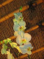 Фаленопсис Амер - Phalaenopsis Ammer  2 стрілки