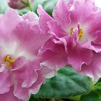 Цветущая фиалка Николь