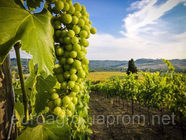 Насколько выгодно сегодня выращивать виноград?