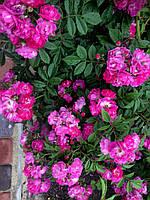 Саженцы роз Перенниал Блю (сиреневая)