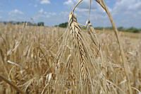 Озимый ячмень Майбрит, семена от производителя Элитгосп им. Шевченко