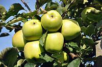 Яблоня Мутсу