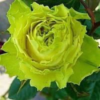 "Роза уникальная ""Зеленая планета"" (зелёный окрас)"