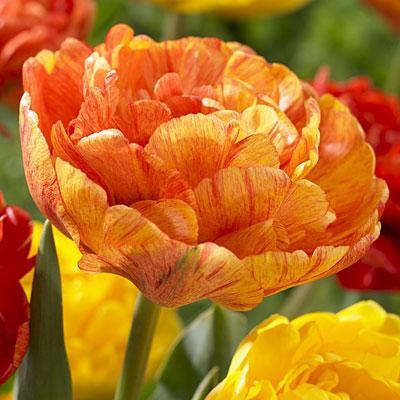 Тюльпан Double Beauty of Apeldoorn махровые+многоцвет  10/11 3 шт
