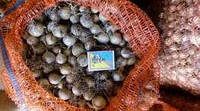 Чеснок озимый сорт Дюшес однозубка 100 граммов