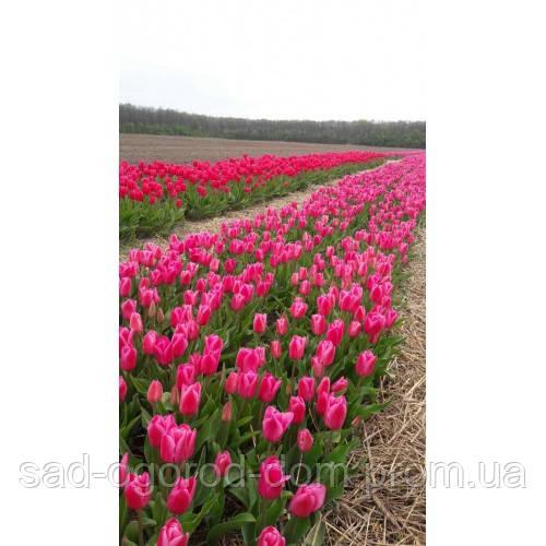 Тюльпан ROSY DELIGHT 11+