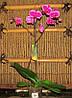Фаленопсис Лір - Phalaenopsis Leer 1 стрілка
