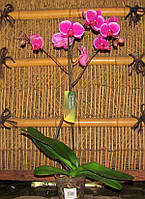 Фаленопсис Лір - Phalaenopsis Leer 1 стрілка, фото 1