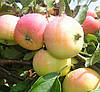 Яблоня Пепинка Золотистая. (ММ.106).  Осенний сорт. (ввв/кр)