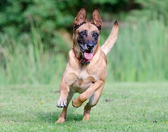 Глюкозамин и хондроитин с МСМ для собак American Pup Hip & Joint Supplement for Dogs
