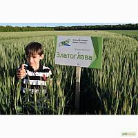 Семена озимой пшеницы Златоглава 1р, Элита