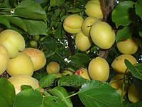 Саженцы абрикоса Ананасный