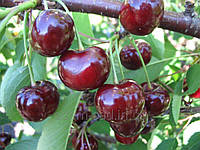 Саженцы вишни Донецкий Великан