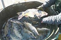 Продажа живой рыбы