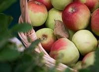 Сбор и хранение яблок зимой