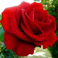 "Роза сорт ""Гранд Гала"" (ярко-красного цвета)"