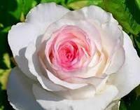 """Роза """"Дольче Вита"""" (биколор)"""