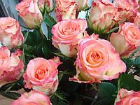 """Роза чайно-гибридная """"Дуэт"""" (биколор, ванильно-белого цвета с тонкой розовой каймой)"""