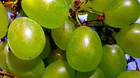 Николаевские садоводы вырастили самую большую виноградную гроздь
