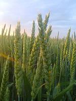 Озимая Пшеница Новелл / Novell 2 репродукция