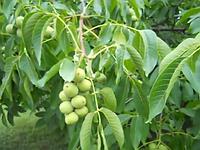 Саженцы грецкого ореха ИДЕАЛ (трехлетний)