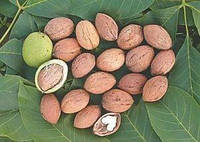 Саженцы грецкого ореха КОЧЕРЖЕНКО (годичный)