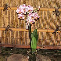 Фаленопсис Лево - Phalaenopsis Levo 2 стрілки