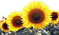 Насіння Гібриду соняшника ЗАГРАВА (ВНІС)/Семена гибрида подсолнечника Заграва ВНИС