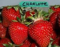 Саджанці ремонтантної полуниці Шарлотта