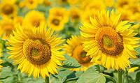 Насіння Гібриду соняшника АУРІС - під Гранстар (ВНІС)/ Семена подсолнечника (стойкий к Гранстару)