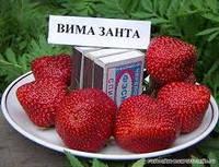 Саджанці полуниці ВІМА ЗАНТА