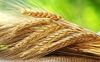 Вести с полей: сколько собрали и сколько засеяли украинские аграрии