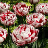 Тюльпан (3 шт) Карнавал де Ніс Carnaval de Nice  Нідерланди розмір 12+