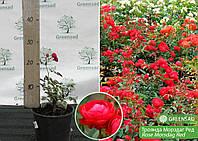 Роза полиантовая Морздаг Ред (Morsdag Red ), саженец 15-25 см