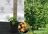 Малина Желтый Гигант, саженец 15-25 см (контейнер 3 л)