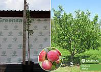 Яблоня в ассортименте, 1,4-1,6 метра