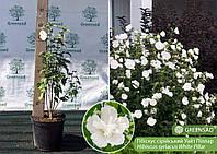 Гибискус сирийский Уайт Пиллар (White Pillar), 50-70 см