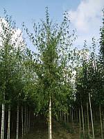 Береза плакучая Лациниата (Laciniata), 2,5-3,0 метра