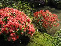 Рододендрон листопадный Хомбаш (Homebush), 50-60 см