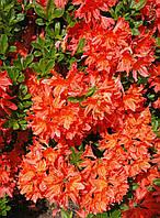 Рододендрон листопадный Хотспур Ред (Hotspur Red), 50-60 см