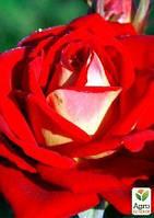 """Роза чайно-гибридная """"Френдшип"""" (саженец класса АА+) высший сорт"""