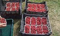 Закуповую свіжі ягоди малини, клубніки!