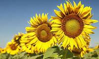 Насіння  соняшника АРМАГЕДОН (стійкий до Євролайтнінгу)/Семена подсолнечника (под Евролайтнинг) ВНИС