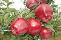 Саженцы яблони РЕД ЧИФ (двухлетние) срок созревания зимний