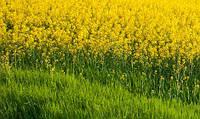 Насіння Ріпака КЛЕОПАРТА (ОЗИМИЙ) ВНІС/ Семена рапса озимого Клеопатра. ВНИС