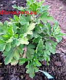 Хризантема ЭКЗОТ шарообразная КЕРРИ, фото 5
